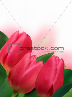 Pink tulips with copyspace on white background.
