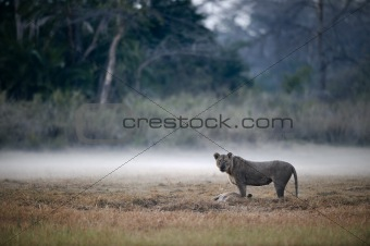 Lion Lioness with kill