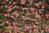 a wall with many red leaf