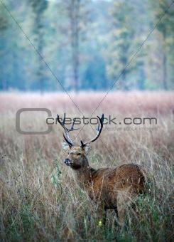 Swamp Deer.