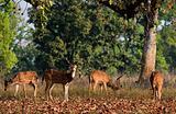 Spotted Deers.