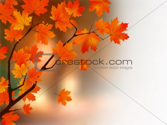 Autumn colors maple tree.
