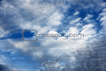 Geese in flight formation and beautiful sky