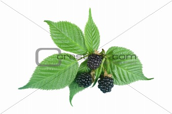 Sweet blackberries with green leaves isolated on white backgroun