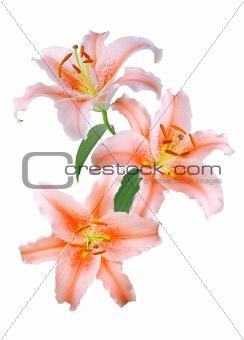 Beautiful orange lilies on white background