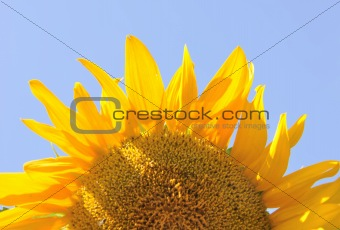 bright sunflower over blue sky background