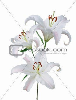 beautiful white lily isolated on white background