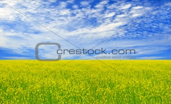 Beautiful field of yellow flowers and perfect blue sky