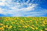 Field of beautiful yellow flowers and perfect blue sky in sunny