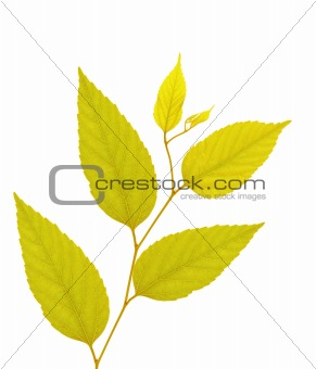 Branch with gold autumn leaves isolated on white