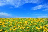 Field of beautiful marigold flowers and perfect blue sky in sunn
