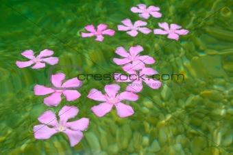 Oleander pink flowers floating in natural freshwater
