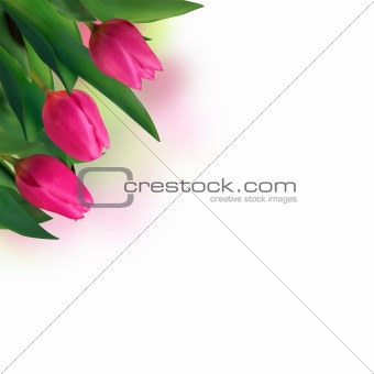 Close-up pink tulips isolated on white.