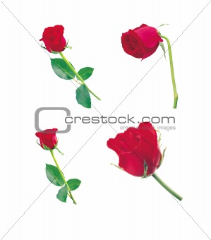 beautiful rose isolated on a white background