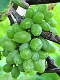 Healthy grapes in vineyard