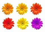 Gerbera flowers of bright colors isolated on white background