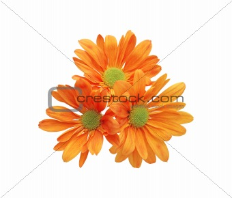 beautiful orange chrysanthemum flower isolated on white backgrou