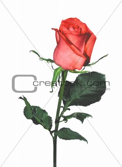 beautiful pink rose isolated on a white background