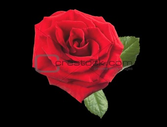 beautiful red rose isolated on black background