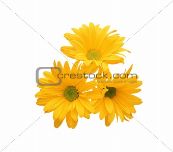 beautiful yellow chrysanthemum flower isolated on white backgrou