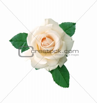beautiful white rose on a white background