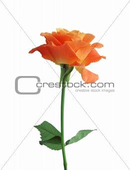 beautiful orange rose isolated on white background