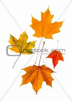 beautiful autumn maple leaves isolated on white background