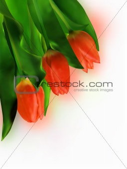 Three Red Tulip on White Background.