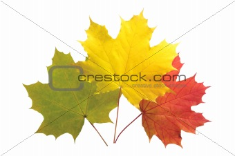 autumn colorful maple leaves isolated on white background