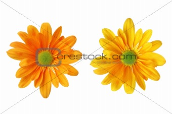 beautiful colorful chrysanthemum flower isolated on white backgr