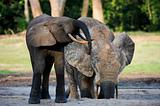 African Forest Elephants ( Loxodonta cyclotis).