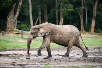 African Forest Elephant ( Loxodonta cyclotis).