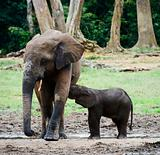 The elephant calf drinks milk at mum.