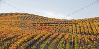 Autumn Gold Vineyard on Rolling Hills