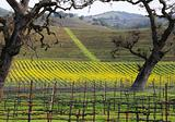 Mustard in Winter Vineyard