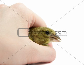 Greenfinch in arm