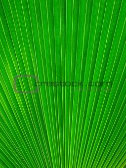 Palm Leaf radius vertical