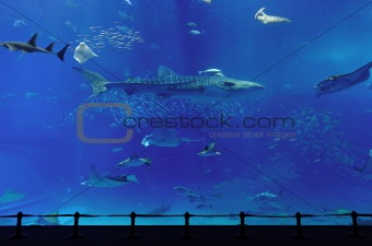aquarium with whale shark in Okinawa
