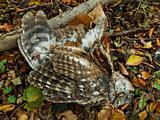 Dead Tawny Owl