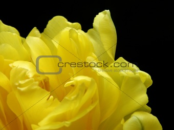 fragment of yellow tulip