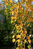 beautiful autumn leaves of birch tree