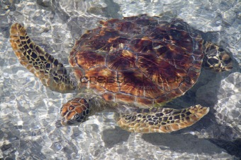 A Beautiful Sea Turtle Swimming in the Shallows