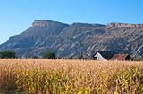 Autumn cornfield near Palisade