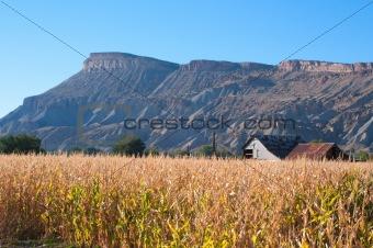 Autumn cornfield near Palisade