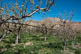 Irrigated Pear Orchard