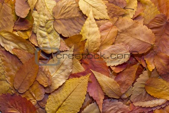 American Beech Tree Leaves Background