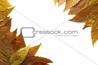 American Beech Tree Leaves Background 2