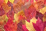 Mixed Maple Autumn Leaves Background