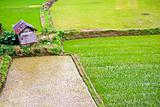 Green Rice plantation
