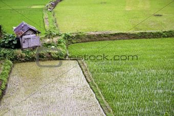 Green Rice plantation